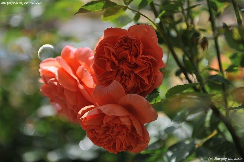 Rosa Summer Song (4).JPG