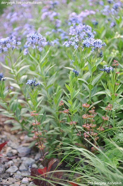 Amsonia ciliata Salvia lyrata Purple Knockout.JPG