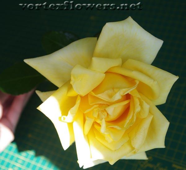 строение розы