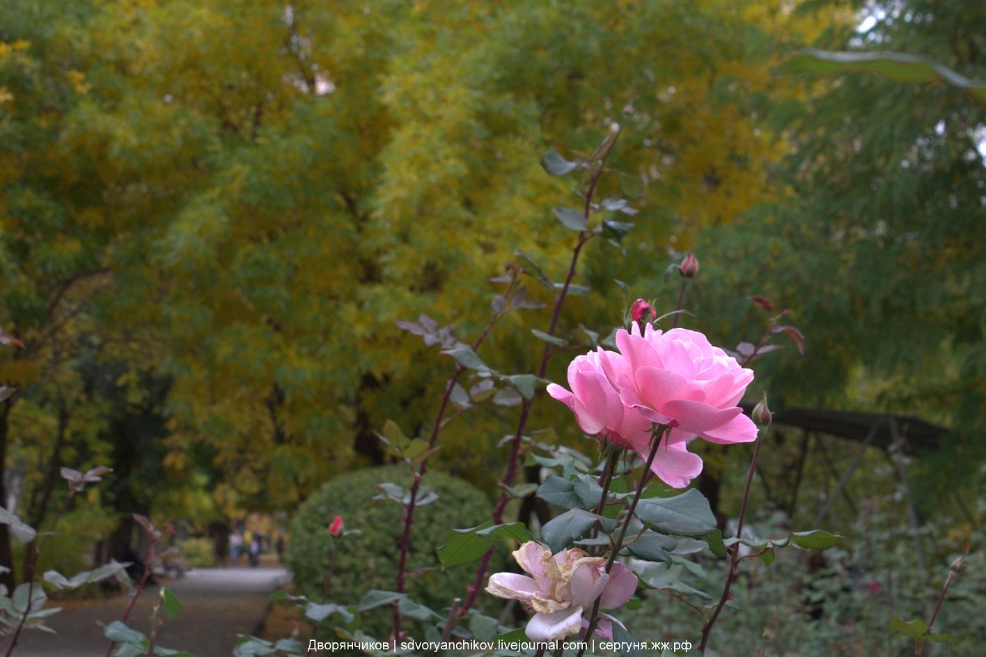 Осень и роза - 7 октября 2016 парк ВГС