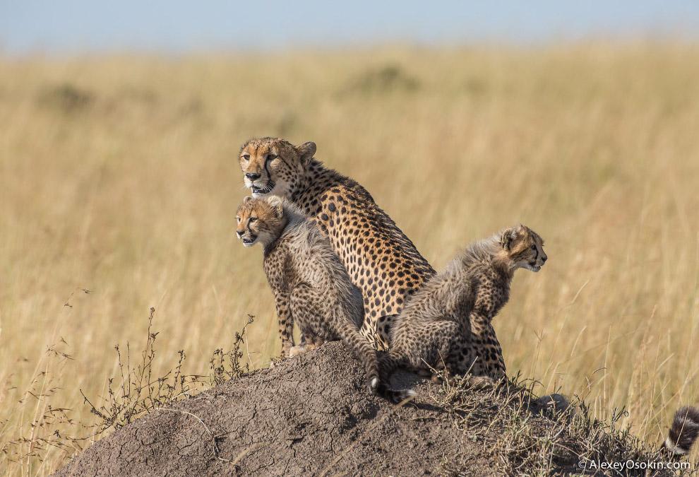 12. Далее (кроме случаев, если дичь сама случайно подошла ближе положенного) гепард очень медле