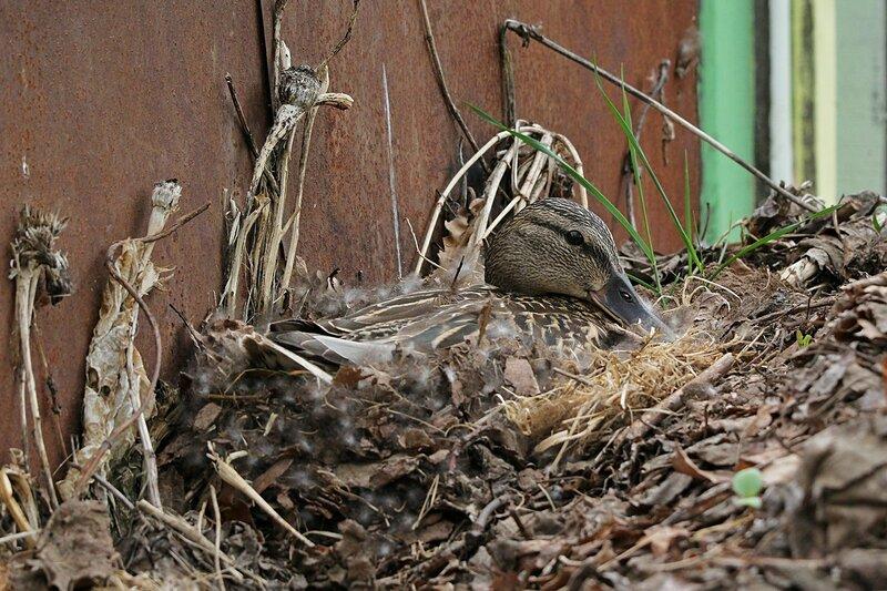 Утка на гнезде 21 мая