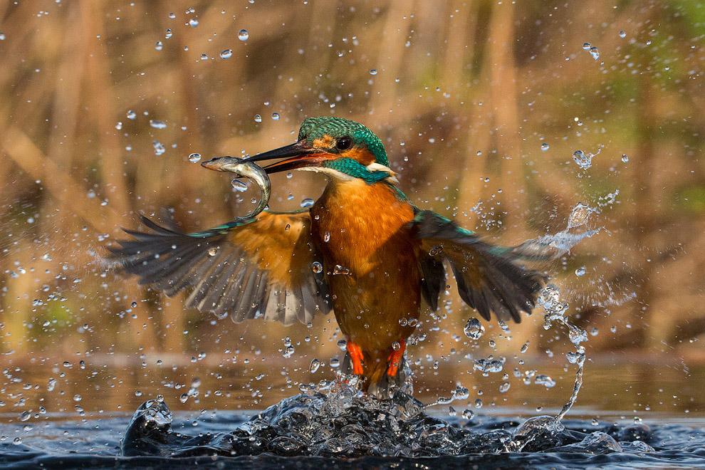 Виртуозный рыбак. (Фото Alexander Holden)