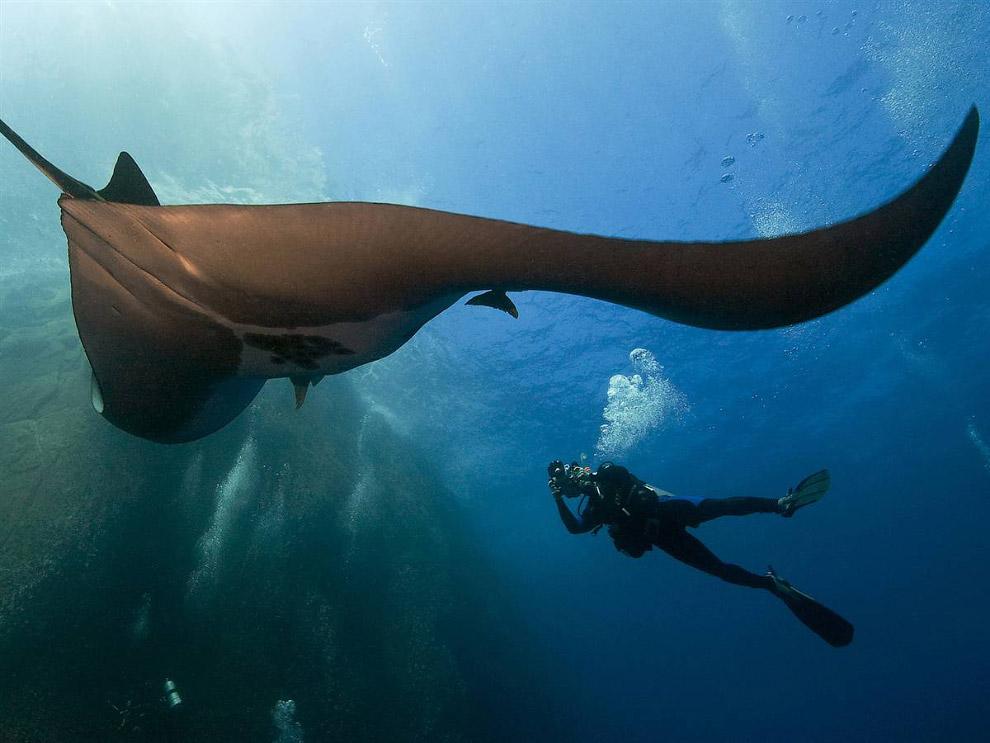 Морские дьяволы абсолютно безопасны для человека (нужно только следить за тем, чтобы не попасть
