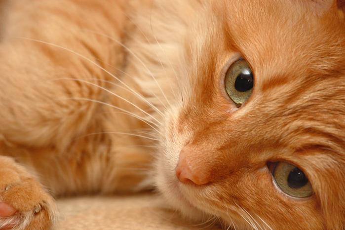 Самое важное, что организм получает от кошки: вибрации, тепло и ощущение уюта. Всё это работает на н