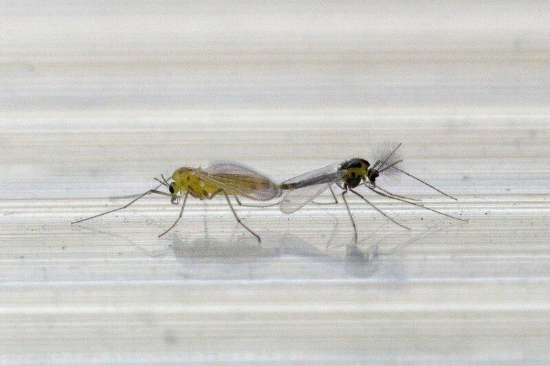 Комариный секс: копуляция мелких комаров. Самец с длинными пышными усами и более крупная самка. Как размножаются комары.