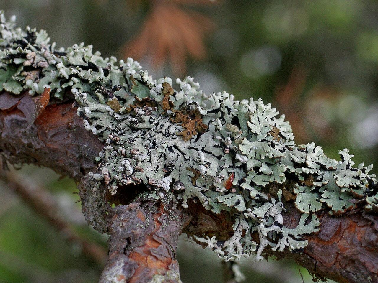 Гипогимния (Hypogymnia sp.). Автор фото: Юрий Семенов