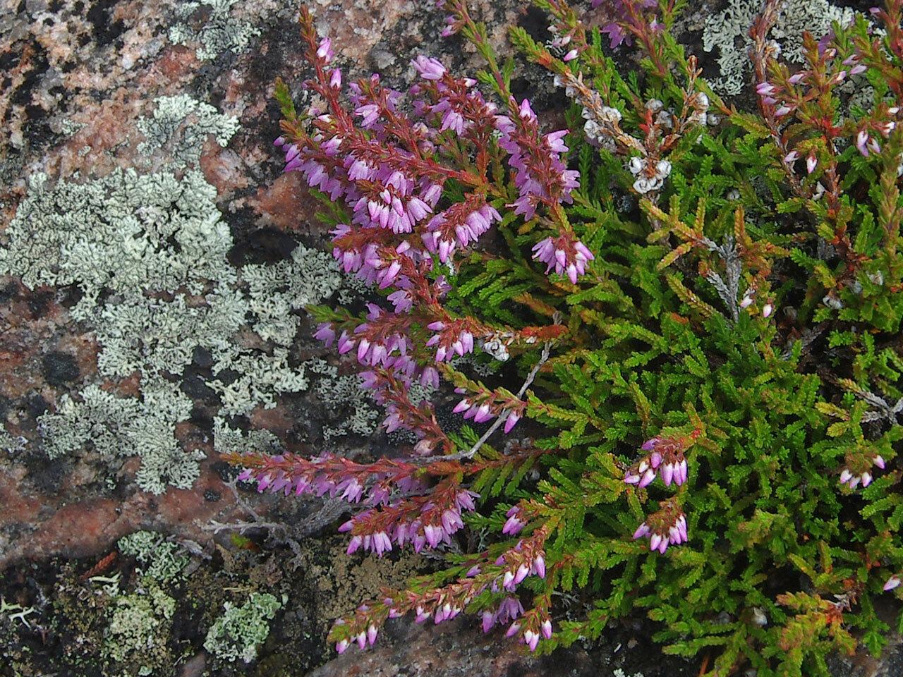 Вереск обыкновенный (Calluna vulgaris). Автор фото:Юрий Семенов