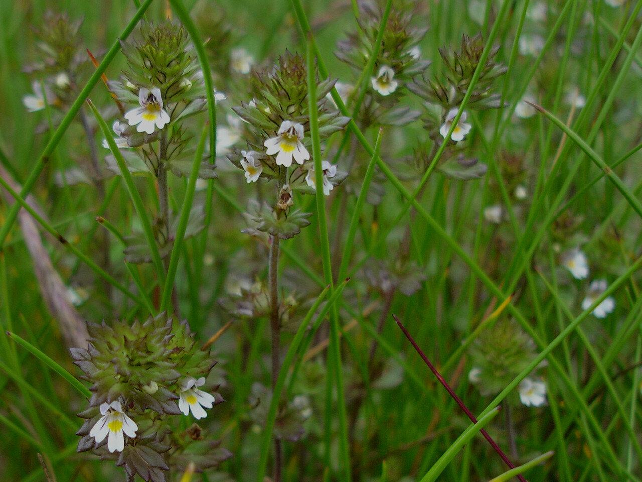 Очанка лекарственная (Euphrasia officinalis). Автор фото: Юрий Семенов
