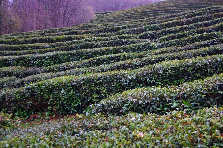 Фото чайных плантаций в сочи