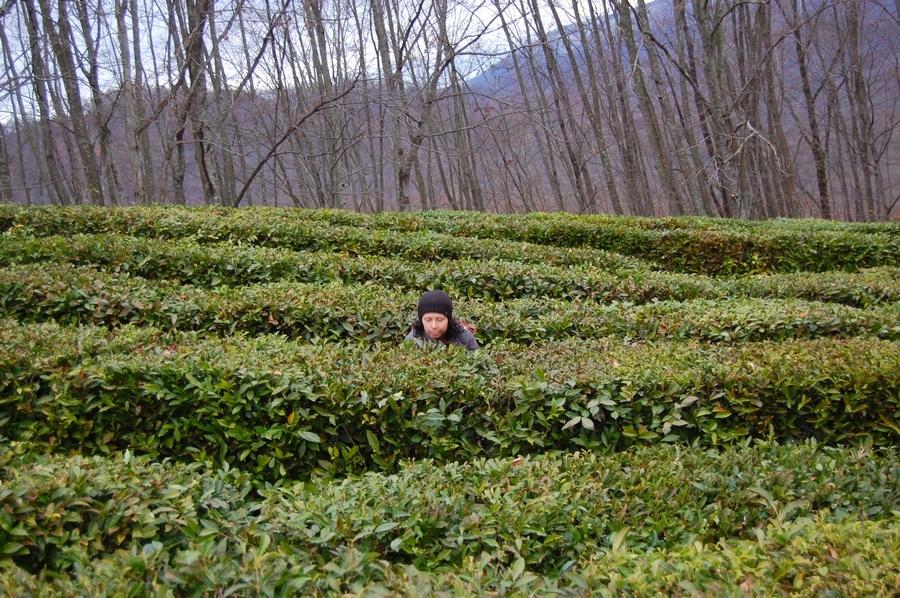 Чайные плантации краснодарского края, фото 5324396