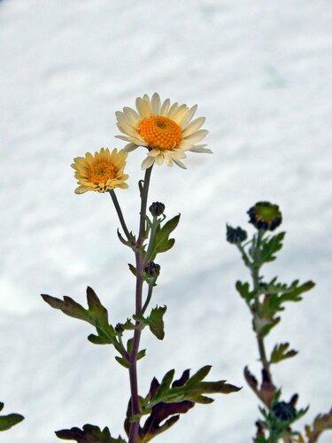 Стойкая хризантемка на снегу
