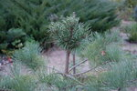 Сосна Банкса Маномед-2 (Pinus banksiana (Manomet-2)