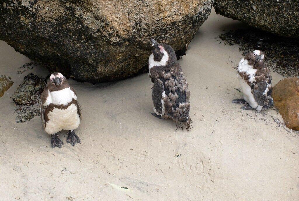 Картинки по запросу в ЮАР живут пингвины.