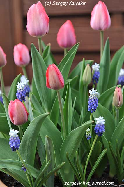 Tulipa Apricot Impression and Muscari Mount Hood.JPG
