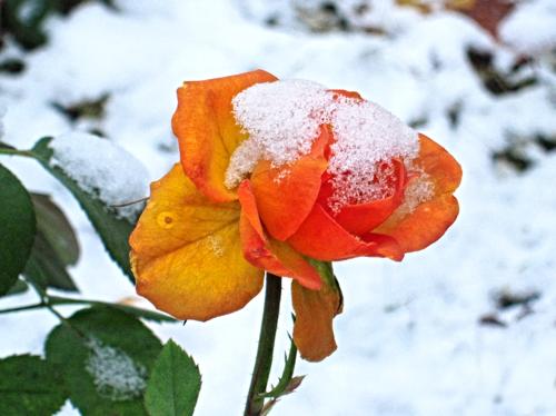 Рыжая роза в снегу
