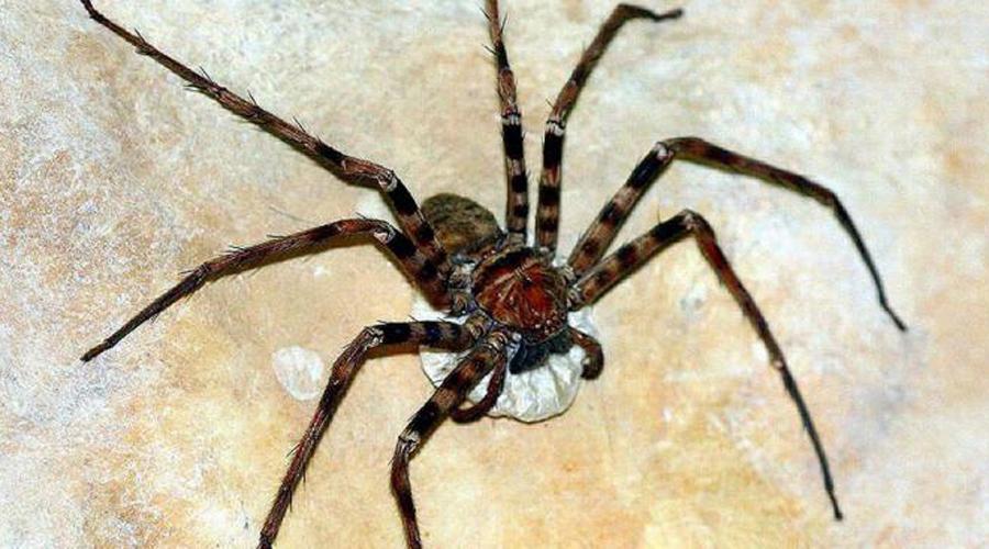 Один вид крабопаука способен вызвать глубокий обморок у любого арахнофоба. Впрочем, укус паука для ч