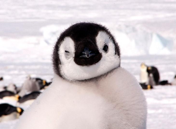2. Пингвины — семейство нелетающих морских птиц, обитающих в открытом море Южного полушария. Мало кт