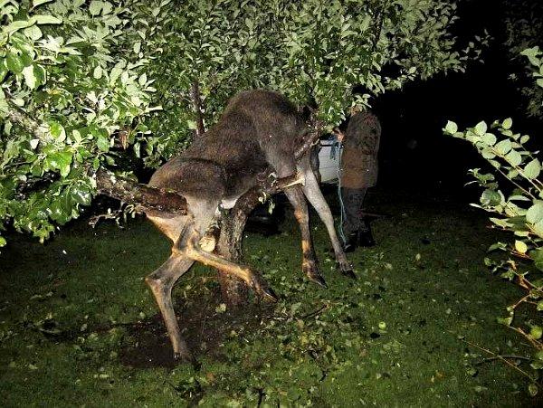 Нередко случается так, что животные, не склонные к алкоголизму, находят забродившие фрукты, съедают