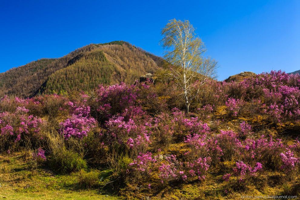 4. Мы попали в горы в самый пик цветения маральника. Практически по всему нашему пути в горы до