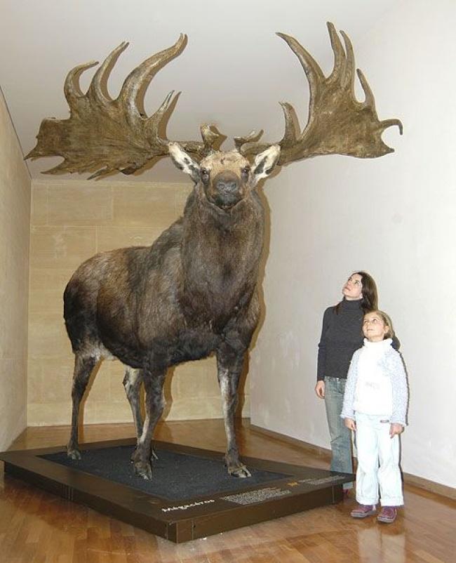 © imgur  Большерогие (ирландские) олени появились пару миллионов лет назад. Когда леса стали н