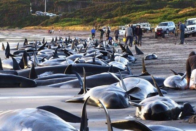 Ките и дельфины, выбросившиеся на берег. Этот феномен озадачивает ученых и по сей день. Учитывая мас