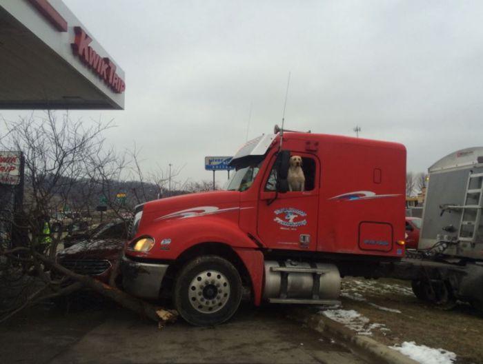 Золотистый ретривер совершил наезд на дерево, управляя грузовиком