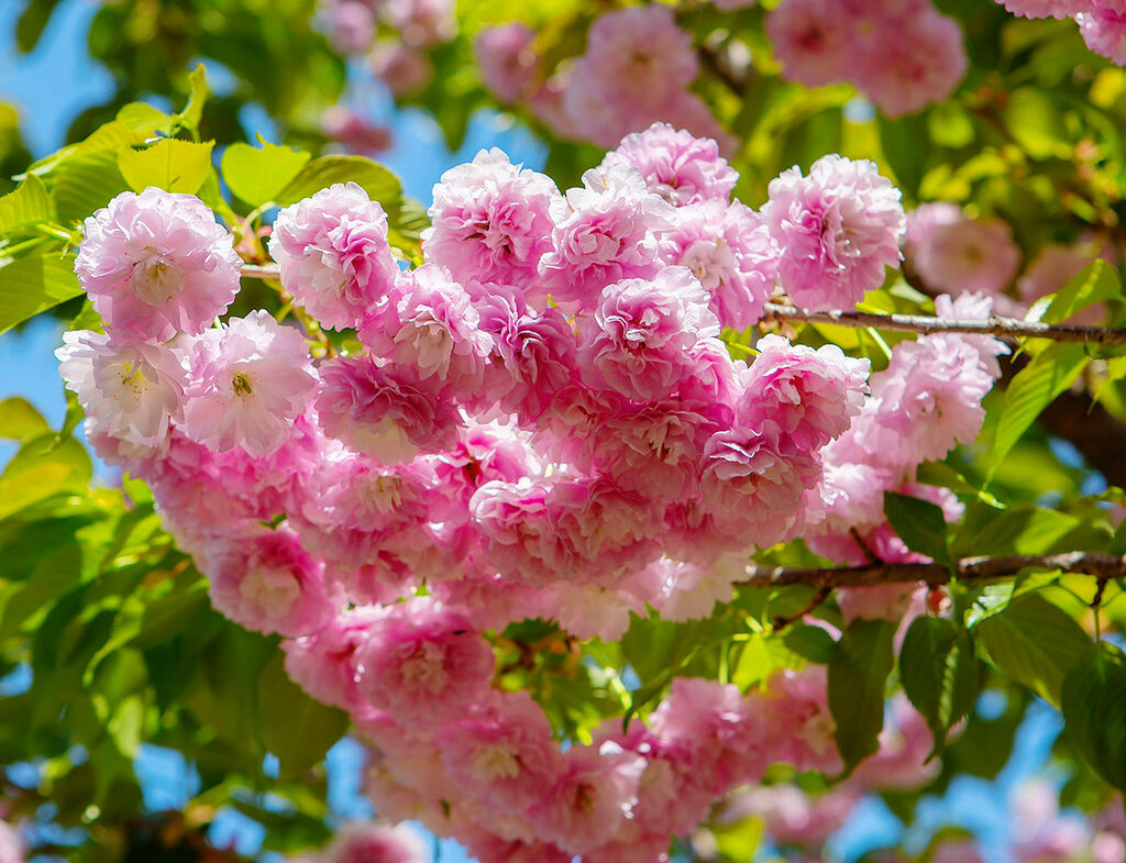 Цветение японской сакуры