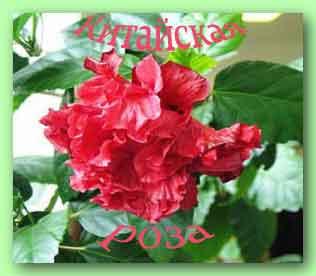 китайская роза в доме