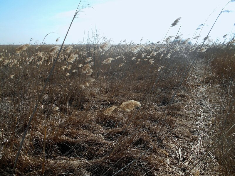 Камыши кивают на ветру ... DSCN1352.JPG