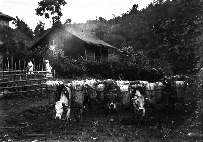 1039. Нагруженный крупный рогатый скот в деревне