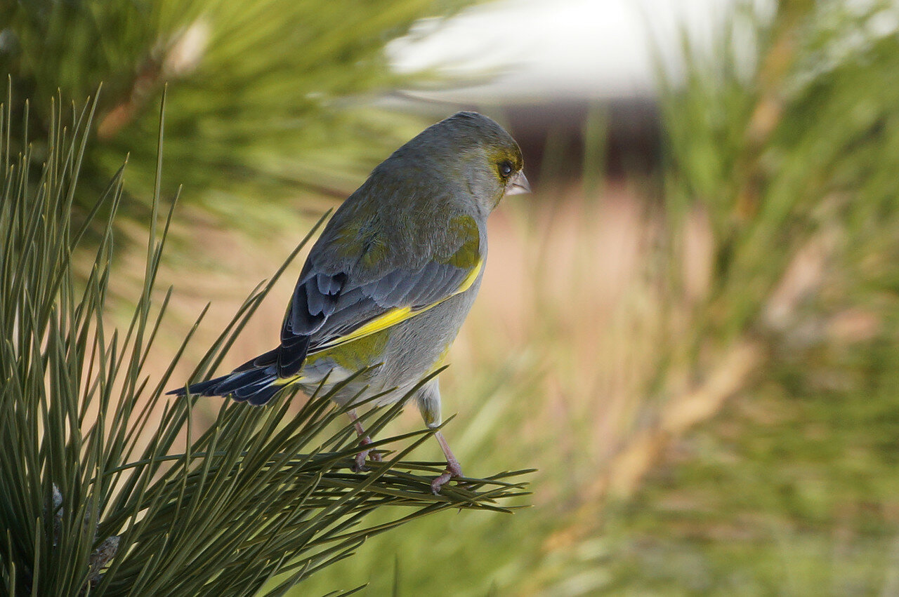Обыкновенная зеленушка (Carduelis chloris). Автор фото: Привалова Марина