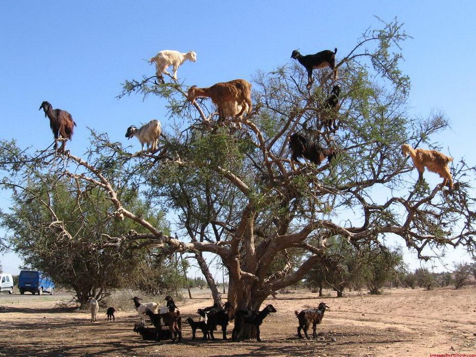 Козы на деревьях в Марокко (16 фото)