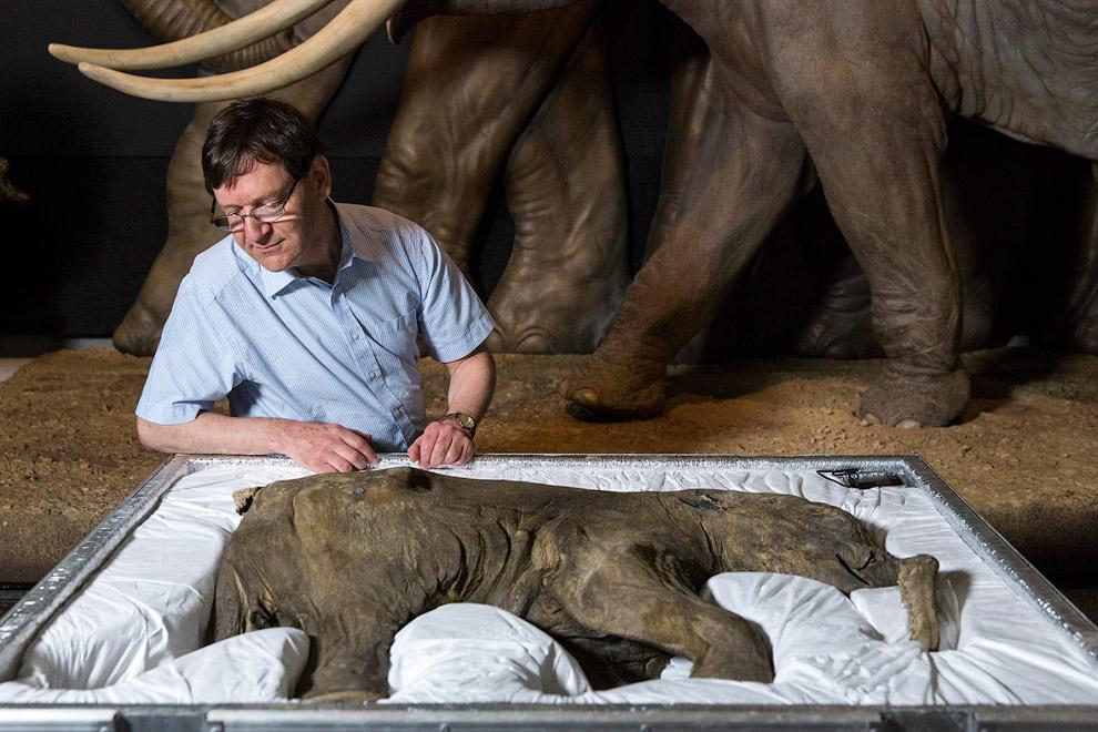 Мамонтенок Люба размером с большую собаку – 85 см в высоту и 130 см в длину. Вероятно, ей было