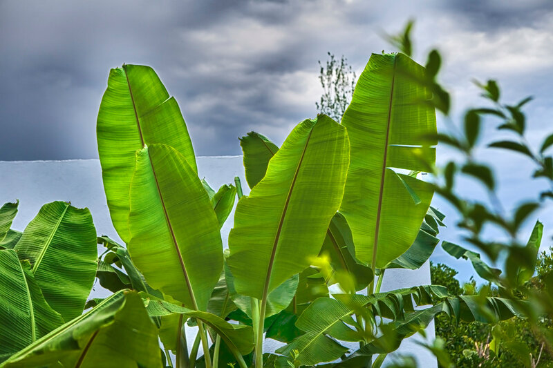 green banana palm tree leaves on a background of bright blue sky