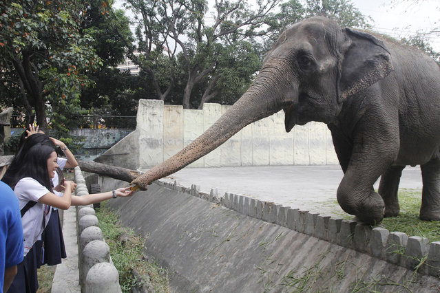 Filipino students feed the forty-two year old Asian elephant Maali at Manila Zoo on World Wildlife D