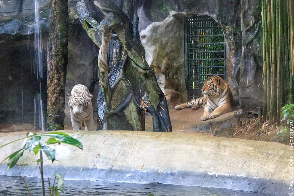 тигры в зоопарке khao kheow