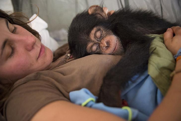 2. По версии Animal Planet, шимпанзе возглавляет 10-ку самых умных животных на Земле . (Фото Dan Kit