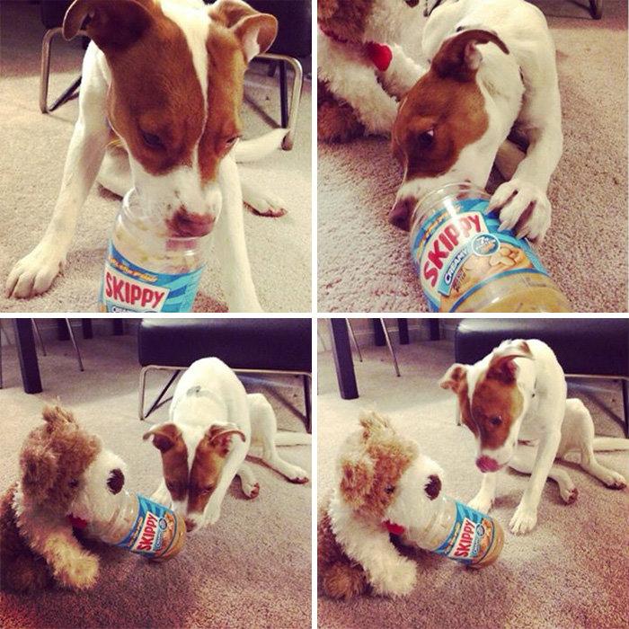 Друг отдал своему псу пустую банку из-под арахисового масла, а тот поделился ей со своим плюшевым бр