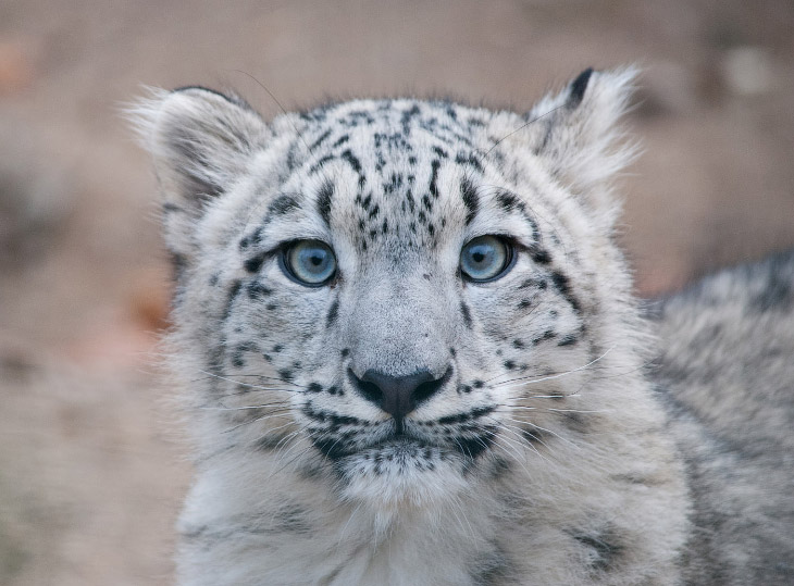 Текст Alexey Osokin   Снежный барс, снежный леопард, ирбис или снежный кот – так много имен,