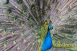 Голубой (индийский) павлин