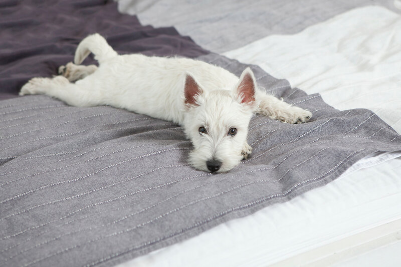the West Highland White Terrier  lying on bed