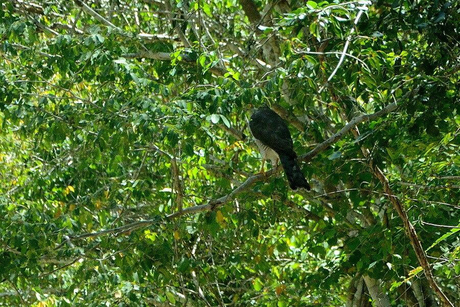 Мадагаскарский ястреб