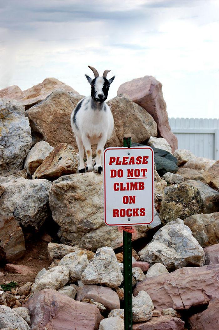 Коза — бэд бой (надпись на табличке: «Пожалуйста, не забирайтесь на камни»).