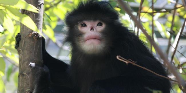 © Zuofu Xiang  Курносые обезьяны обнаружены в2010 году иобитают исключительно вБирме. Из-за