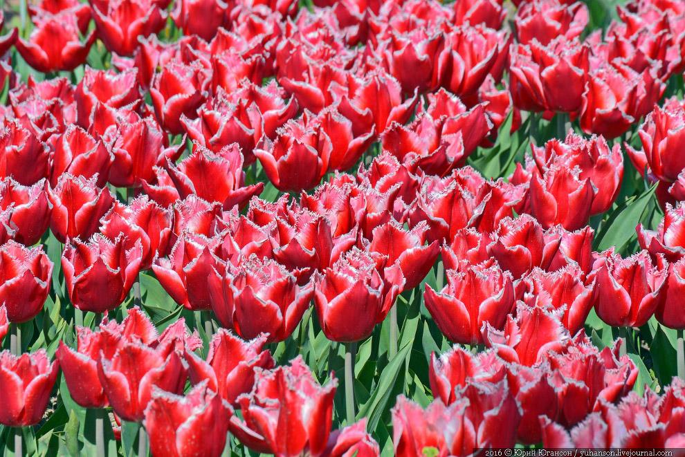 8. Ежегодно в Никитском ботсаду проводится бал хризантем. Кроме того, проходят выставки и парад