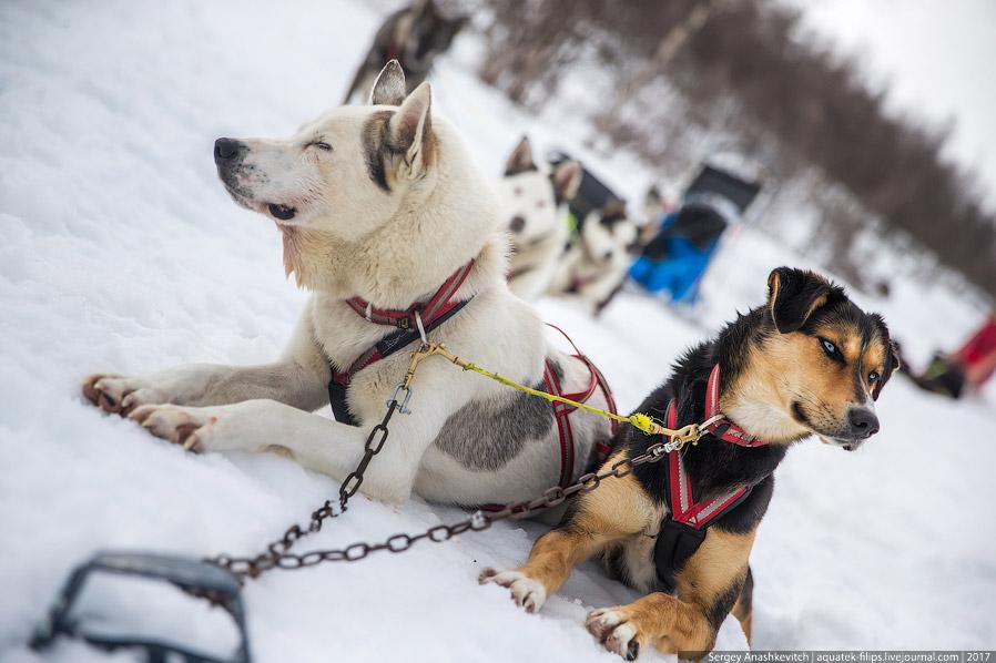 4. Собаки отдыхают перед дорогой. Иногда может показаться, что они очень не хотят никуда бежать