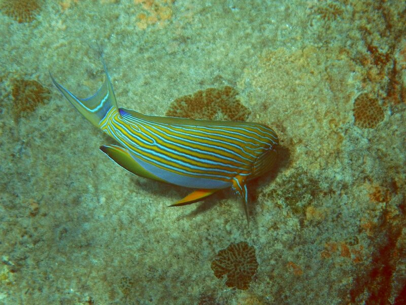 Полосатый (пижамный) хирург, Acanthurus lineatus - тропическая рыба с желтыми и синими полосками вдоль тела обгладывает кораллы на камнях в Андаманском море у островов Симилан