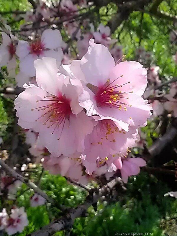 Розовый миндаль (2)