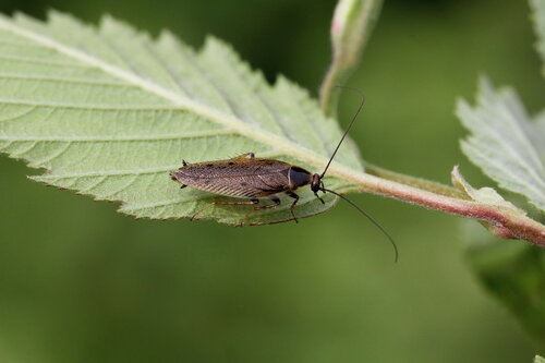 Лесной таракан (Ectobius sylvestris (Poda, 1761))